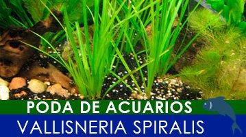 poda de acuarios, vallisneria spiralis